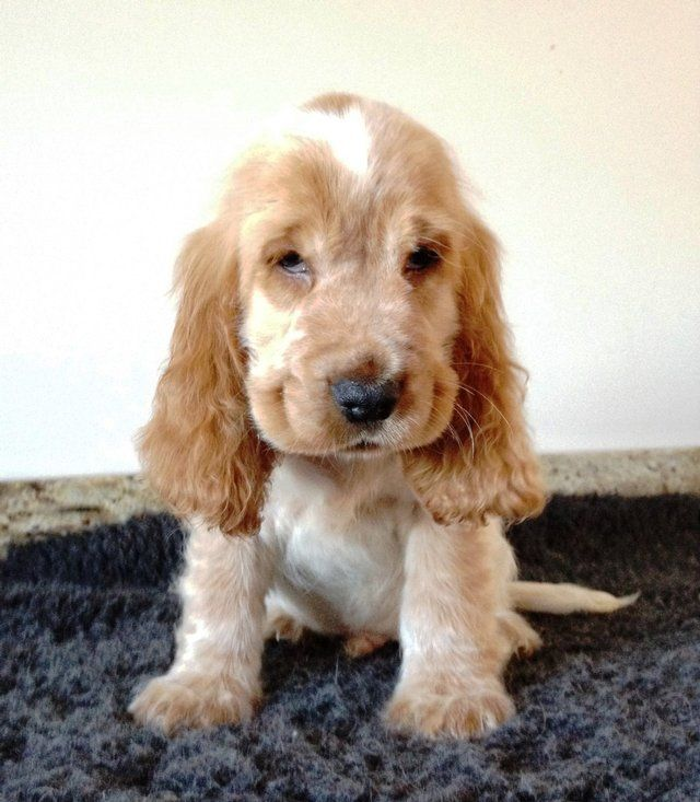 Stunning Show type cocker spaniel puppies for sale