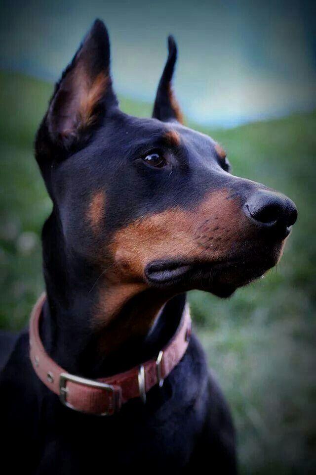 Pin By Ramona Lucas On Dogs Doberman Pinscher Dog Dobermann