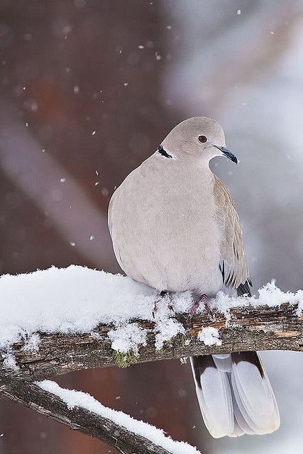 Winter Dove    A Eurasian-Collared Dove relaxes in a tree during a Colorado snow.