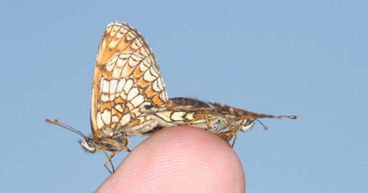 Las mariposas del Amazonas. La selva tropical húmeda del Amazonas tiene una rica variedad de animales y especies de plantas. Más de 3.700 especies de mariposas han sido identificadas solamente en Perú, lo que lo convierte en un refugio para más de 1/5 de la población mundial de mariposas. Algunas abundan más que otras: estas son las cinco residentes más comunes del Amazonas.
