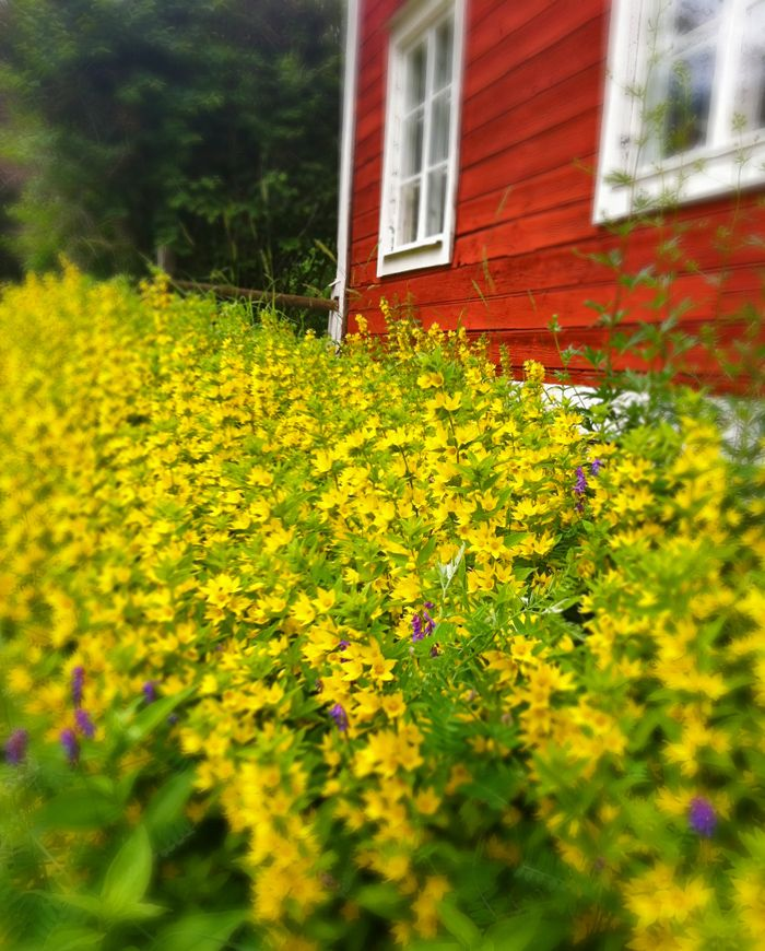 Flowers at the summerhouse. #joelhome