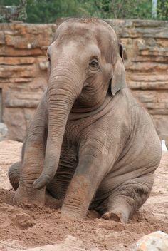 j-u-n-g-l-e-vines: Asian Elephant at Chester Zoo by kitskel