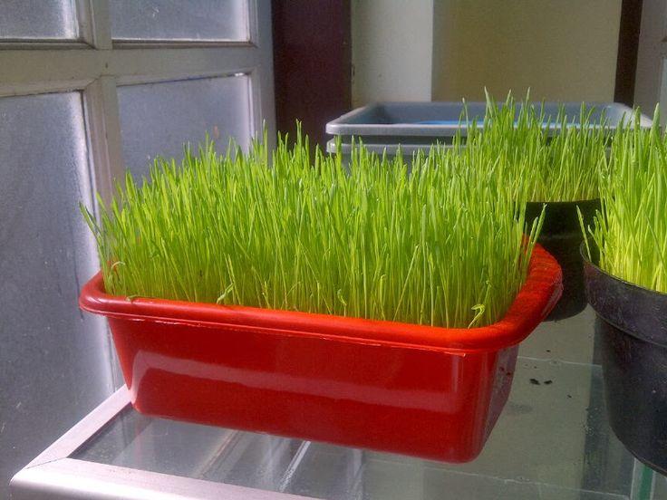 RUMPUT GANDUM wheatgrass: Manfaatkan Komunitas, Jual Benih dan Wheatgrass Si...