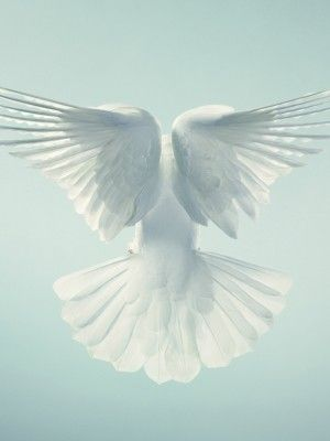 #white doves #birds #animals -Tim Flach