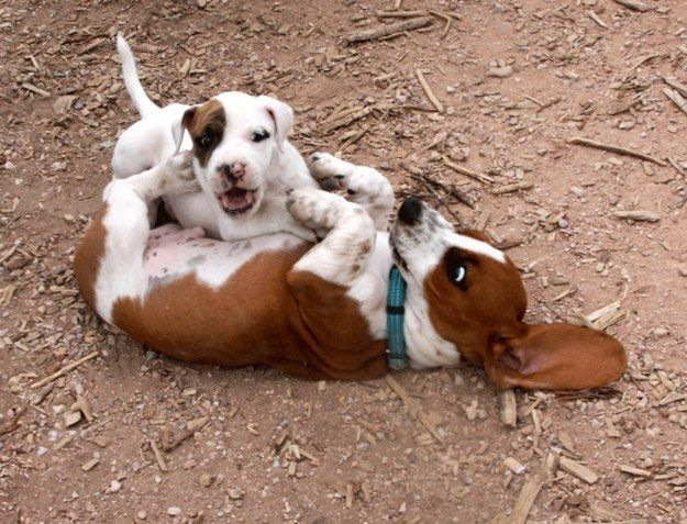 When this floppy eared buddy accepted defeat to a small puppy. | 21 Times Basset Hounds Were Just Really Dorky
