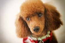 My red toy Poodle, Stevie Bear Wonder.  You can call him Stevie.