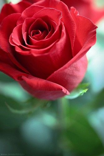 Red roses would look awesome in the front yard.. Next to the red brick..