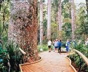 Tane Mahuta - Largest existing kauri tree. Native to NZ