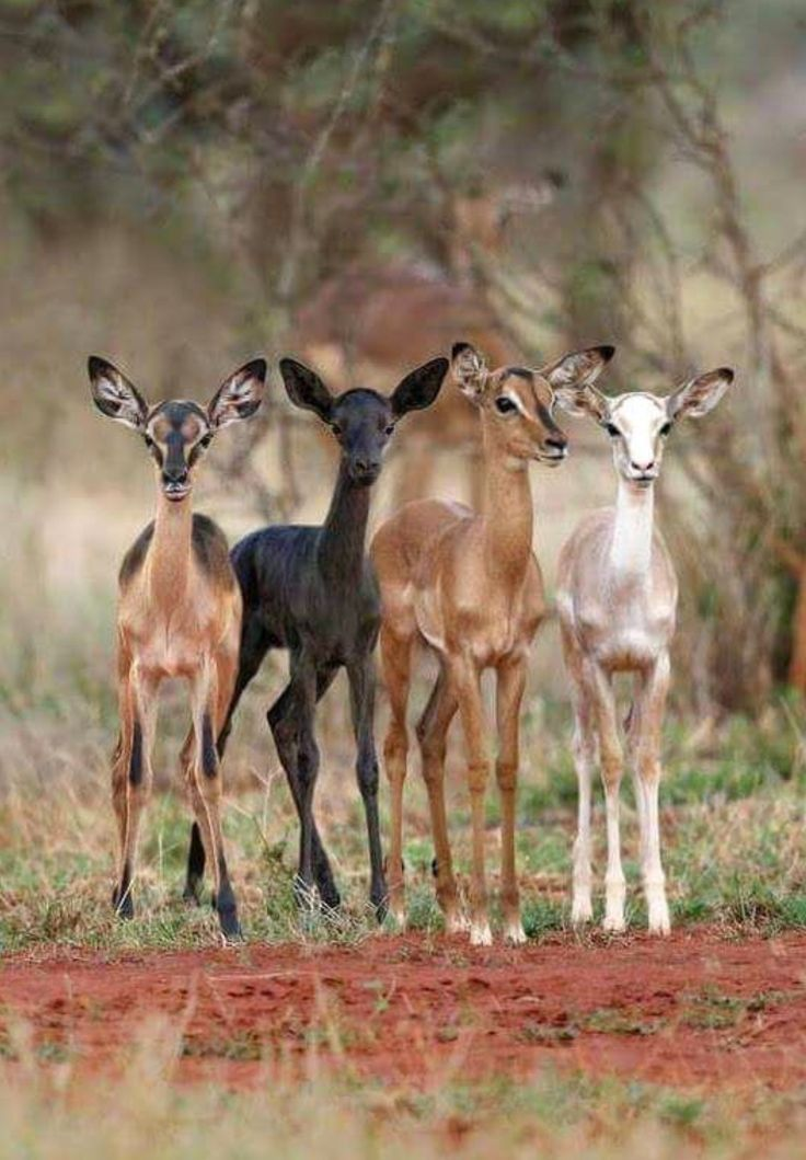 Impala antelope in a variety of colors. They are beautiful, but that's not why they're valued. Purposeful breeding of African animals in various color mutations is fueling South Africa's $1 billion ultra-high-end big-game hunting industry.