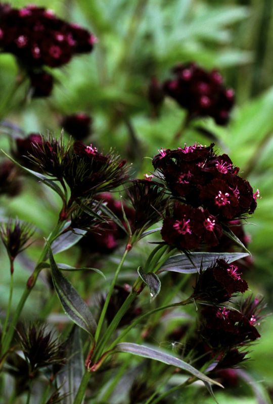 greenreblooming plants for florescence ruby red shades dianthus barbatus sooty sweet. Black Bedroom Furniture Sets. Home Design Ideas