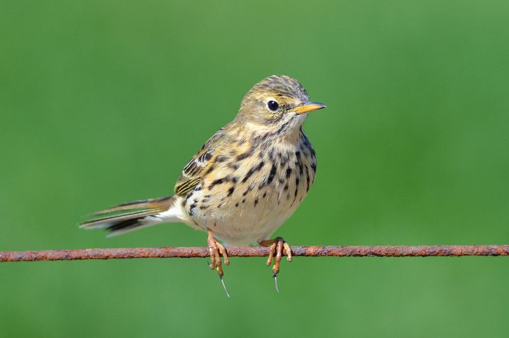 Meadow Pipit (Anthus pratensis) Europe and Asia
