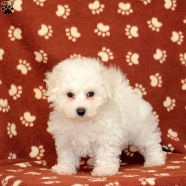 Gracie Bichon Frise Puppy For Sale In Pennsylvania Bichon Frise Puppy Bichon Bichon Frise