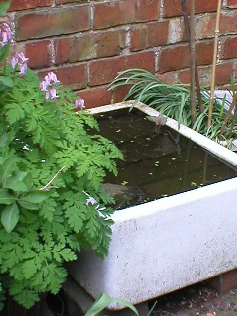 Belfast sink pond for frogs to keep slugs away