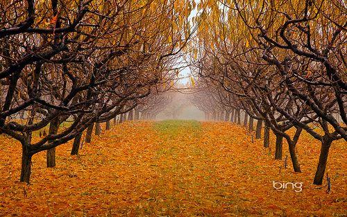 Pear orchard in Okanagan Valley, British Columbia, Canada