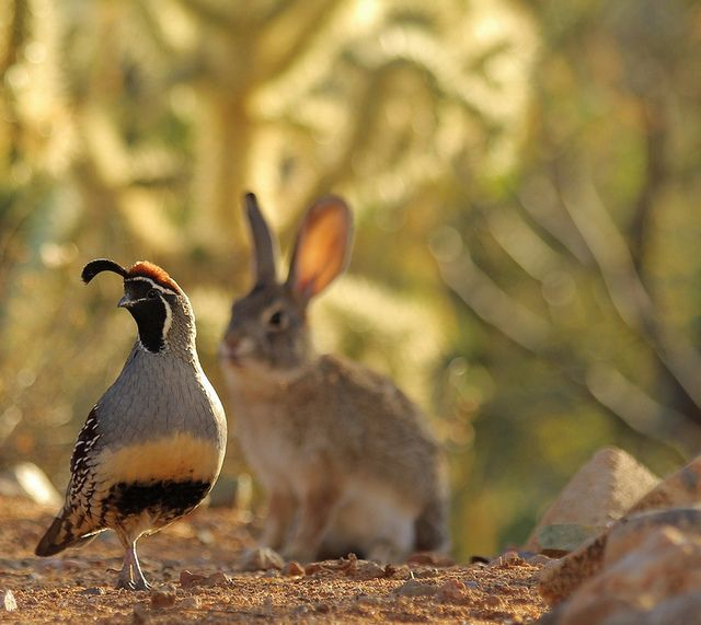 """Desert Cottontail """"shadowing"""" male Gambel's Quail. by troupial, via Flickr"""