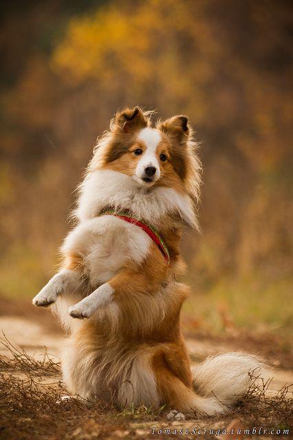 Shetland Sheepdog - aaaw I want one... or two :)