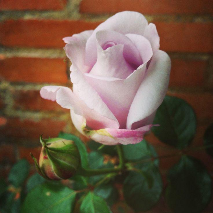 Mi rosa lila
