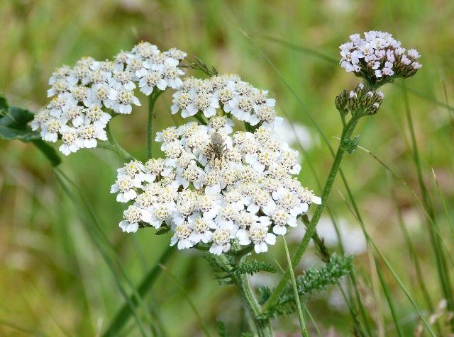 A javasasszony szerint ez az egyetlen gyógynövény, amelyik minden betegséget gyógyít! - Megelőzés - Test és Lélek - www.kiskegyed.hu