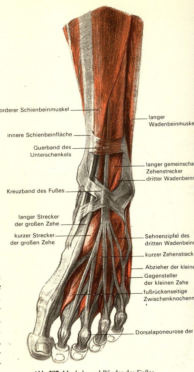 Анатомия ноги человека мышцы и связки фото