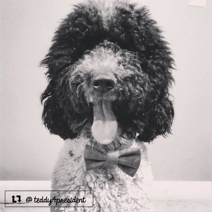 Teddy the Sheepadoodle from Washington DC