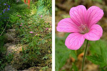 Bed med geranium (bunddække under æbletræ?) storkenæb, Geranium × oxonianum 'Rose Clair'.