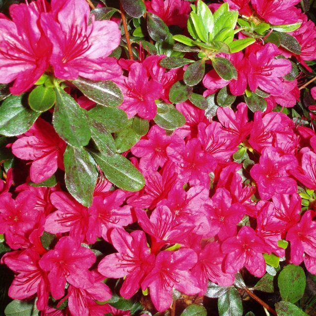 Evergreen Azalea Hino Crimson Agm Azaleas Evergreen Small Gardens