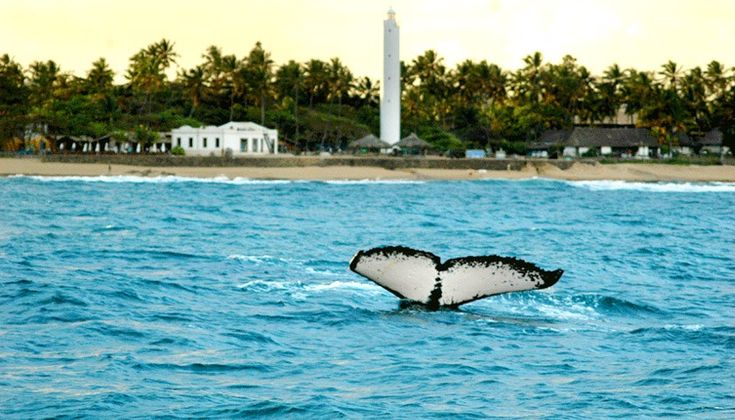 Águas calmas atraem baleias até a Praia do Forte