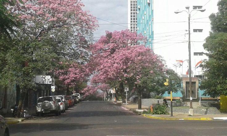 Lapachos adornan las calles en pleno invierno - Fotos - ABC Color
