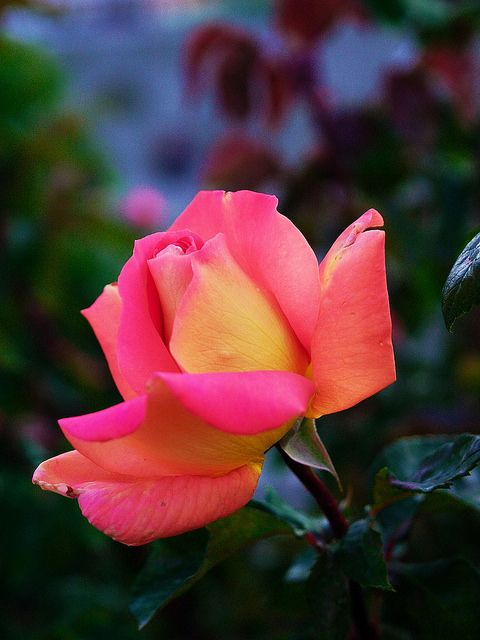 ROSE 7447 | Flickr - Photo Sharing!