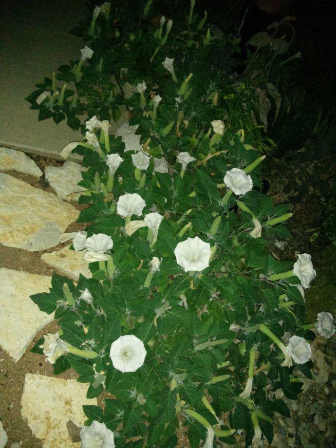 Deer Resistant Plants For Austin And Central Texas Lisa S Landscape Design Deer Resistant Plants Indoor Flowering Plants Plants