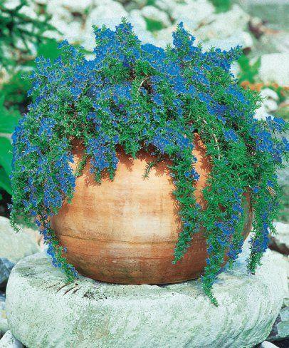 Csüngő rozmaring, Rosmarinus officinalis
