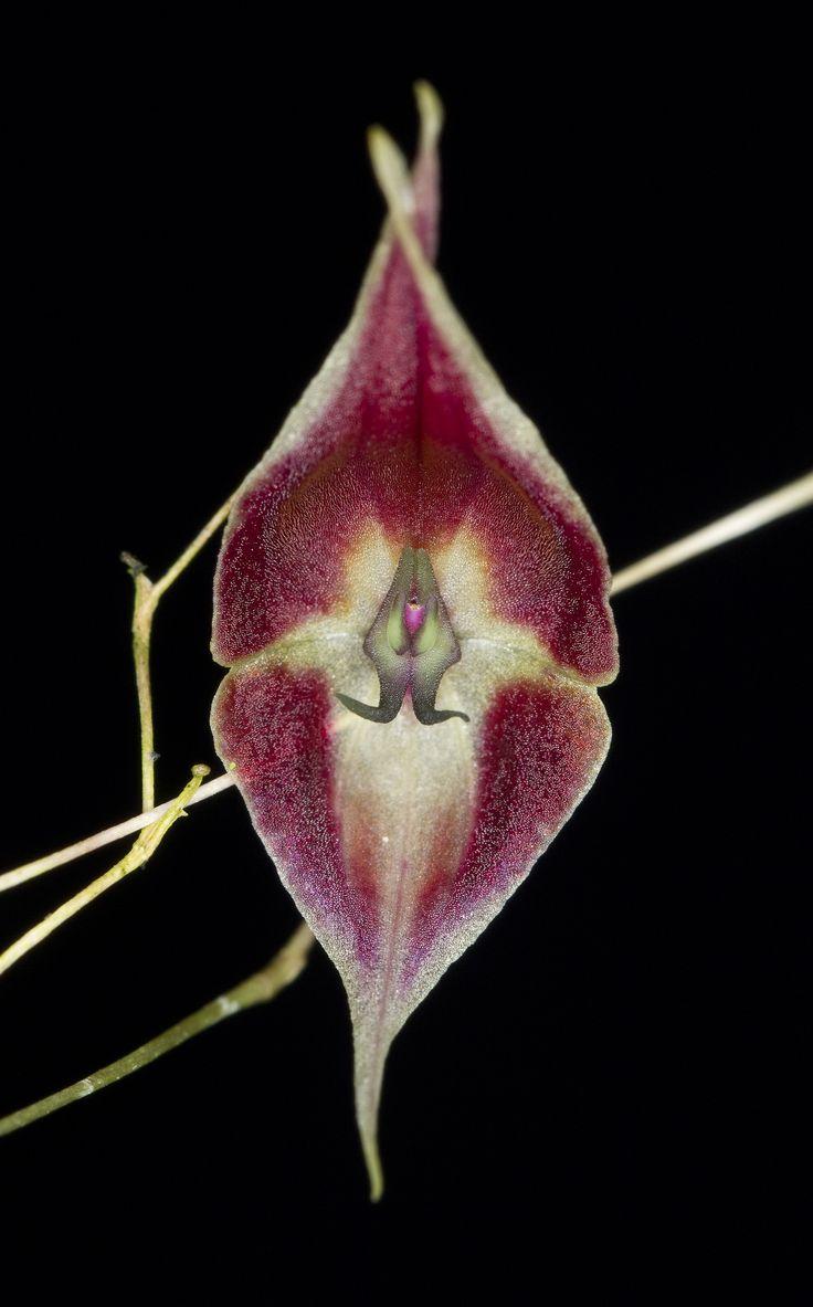 Miniature-orchid / Micro-orquidea: Lepanthes cloesii - Flickr - Photo Sharing!