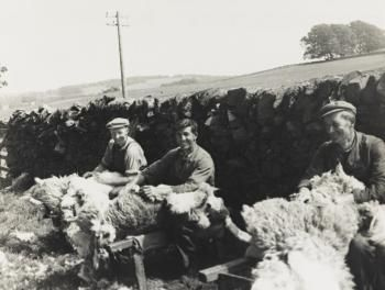This is a digital copy of black and white photograph of three men clipping sheep, including Hugh McMillan, Robert Whitelaw and Francis Davidson, at Upper Ingleston Farm, Moniaive, Dumfriesshire, taken in the 1950s.