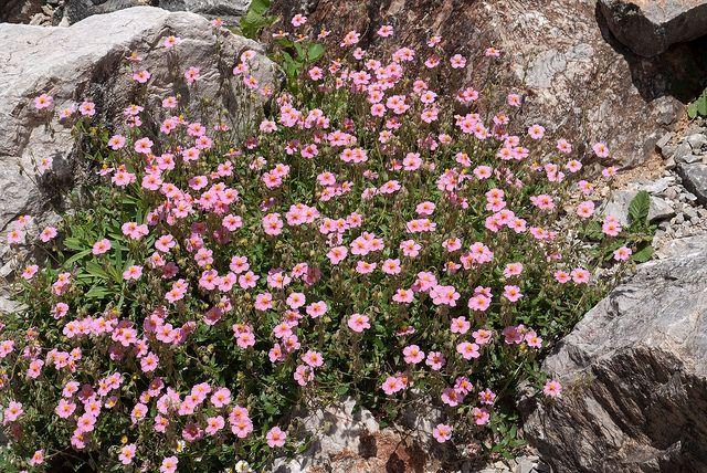(*<) Helianthemum [weiß; rosa | wintergrün | In reinem Schotter (Körnung 0-32 mm oder 0-45 mm) | Niedrige Arten für die Beetkante oder als Füller | Bunt und robust]