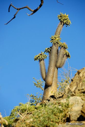 An ancient Pachypodium namaquanum (Halfmens) in habitat in the Richtersveld desert, Northern Cape, South Africa,