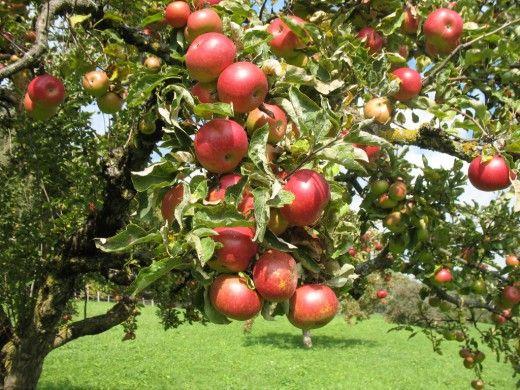 Лучшие сорта яблонь для различных регионов возделывания В маленькой или большой семье нужно разное количество плодово-ягодной продукции, но всем хочется иметь свежую продукцию длительное время. Исполнением желания может послужить продуманный подбор сортов желаемой культуры. Чтобы избежать ошибок, необходимо заранее продумать какие типы и сорта яблонь подходят для вашего участка, отобрать понравившиеся вам.