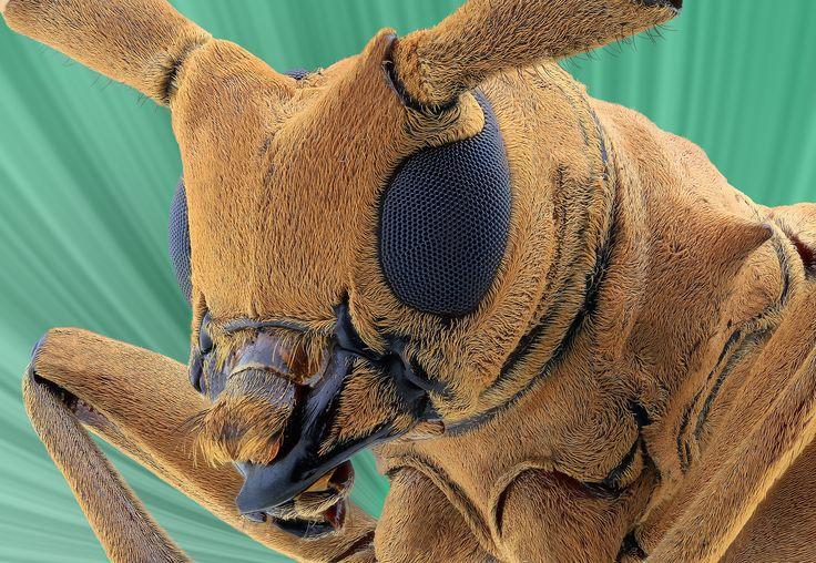Longhorn beetle - A longhorn beetle