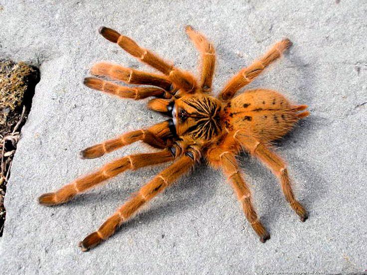 Pterinochilus murinus var. Red Color Form, dont le nom commun est Mygale babouin orange, Belle araignée africaine autrefois connue comme Pterinochilus sp. usambara, du nom de sa localité d'origine, le mont Usumbara, elle fût ensuite décrite en tant que Pterinochilus mamillatus, puis elle fût identifiée comme une...