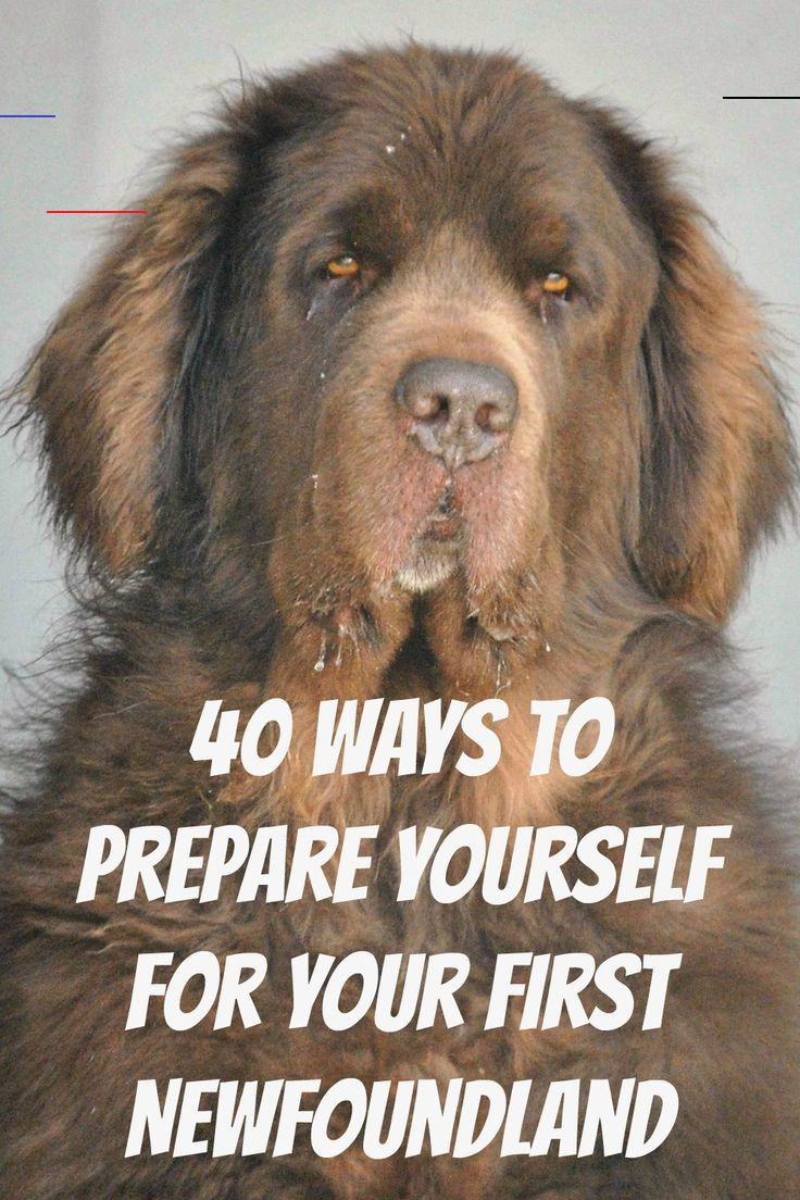 40 Ways To Get Ready For Your Newfoundland My Brown Newfies 40 Ways To Get Ready For Your First Newfoundland Puppies Newfoundland Dog Puppy Newfoundland Dog