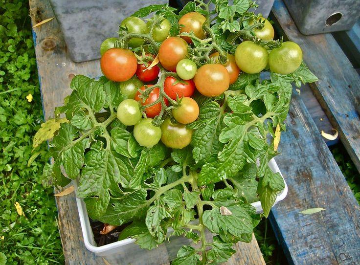 más de 25 ideas increíbles sobre plantar tomate en pinterest