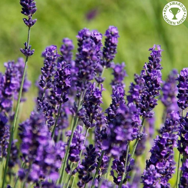 Lavender Hidcote hedge plants | Lavandula angustifolia 'Hidcote' hedge