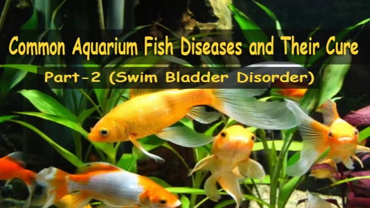 Swim Bladder Disorder  Swim Bladder Disorder is most commonly seen in Bettas and Goldfish but it can occur in any species of fish. When a fish has swim bladder disorder the swim bladder does not function normally because of physical defects or disease. Issues that affect the swim bladder specifically contribute to Swim Bladder Disorder.  Symptoms: You will start to see problems with the fishs buoyancy they may start to sink to the bottom float upside down appear to have a swollen belly and…