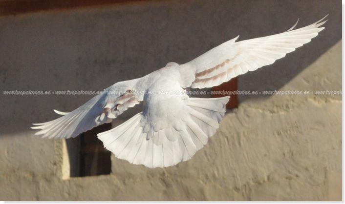 teoría de la cola palomas mensajeras