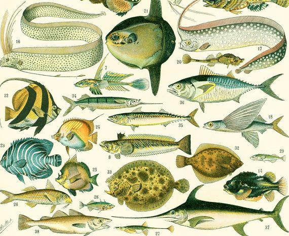 1897 Poissons de Mer illustration Larousse dictionnaire Grand Format Encyclopédie encadrement
