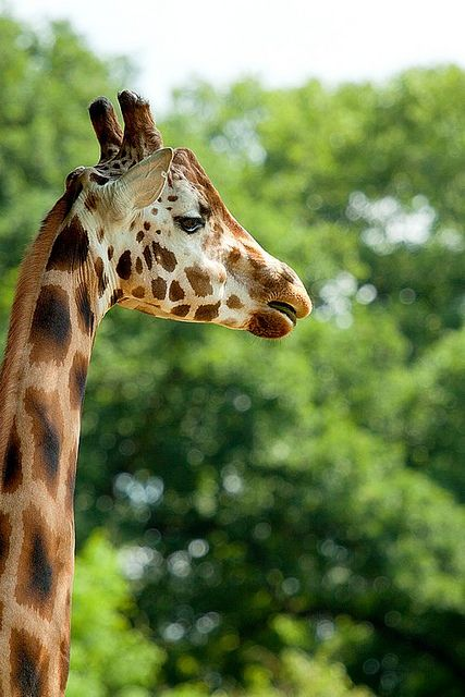 Giraffe @ Emmen zoo by Berendje Photography1 on Flickr.    I love its face omg.