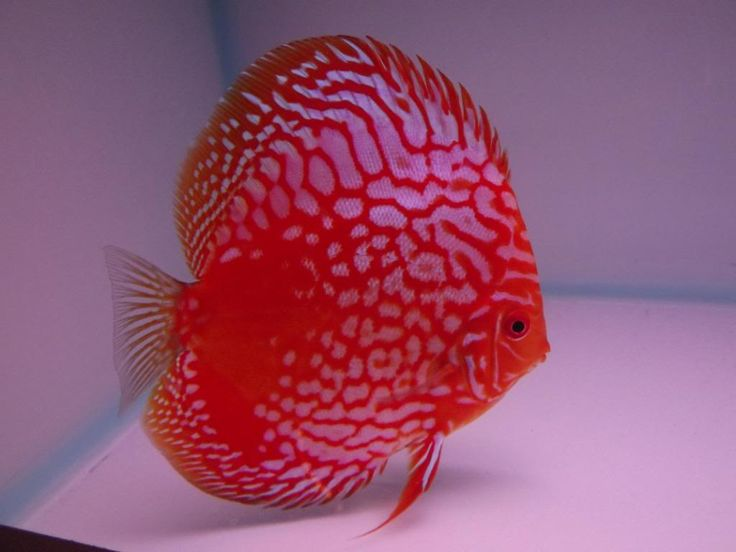 99 best discus fish images on pinterest discus fish for Best place to buy discus fish