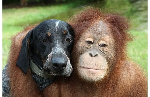 Suryia the Orangutan and Roscoe the Blue Tick Hound are best of friends at the T.I.G.E.R.S sanctuary in Myrtle Beach, South Carolina.