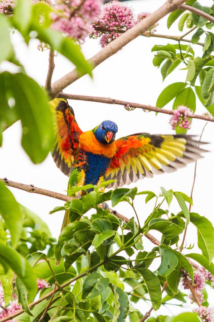 Rainbow Lorikeet - Townsville, Australia - Zac Harney Photography