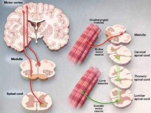 Upper Or Lower Motor Neuron Disease Symptoms, Causes And Treatment