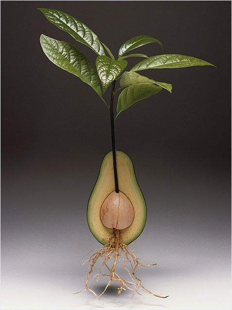 Avocado Plant: one of the best indoor plants. Who knew?